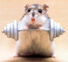 Hamster-musculation