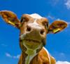 Cow-vache